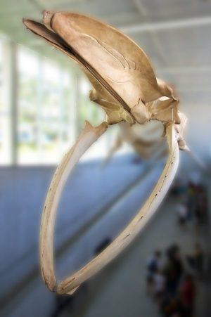 Blue whale skeleton, Beaty Biodiversity Museum