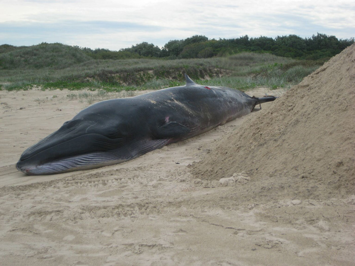 Bryde's whale carcass