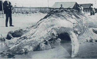 Cape May carcass 1921