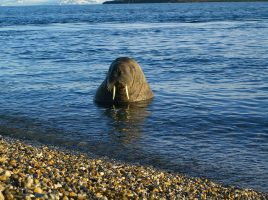 Picture of Walrus