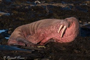 Walrus at Sanday