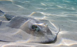 Southern Stingray (Dasyatis americana) as symbol picture. (Jeff K. (2008). Used under license CC BY NC 2.0)