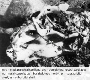 Fig. 4. Chondrocranium of the Girvan monster with added anatomical details used in text. (Bettmann. 1953. Used according to § 51 Urheberrechtsgesetz).