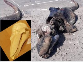 """""""Crocodile-like"""" carcass from Jannetta, B. (2018, May 23). Retrieved from http://www.facebook.com/groups/lovegower/permalink/627321394269406/. Used according to § 51 Urheberrechtsgesetz as photo-citation in (popular-)scientific work. Skull of Harbour porpoise from Pedersen, Dawn. (2017, March 22). [Image]. Retrieved from https://www.flickr.com/photos/paintedbydawn/33796942010/. Used under license cc-by/2.0."""