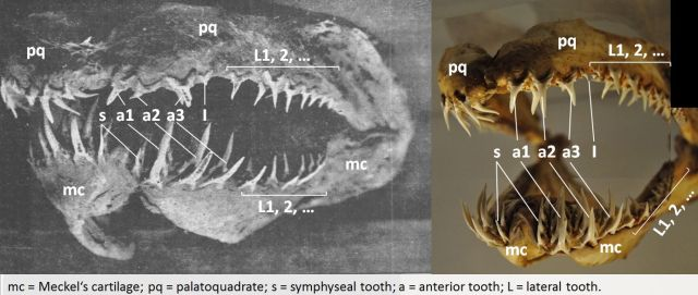 """Fig. 3. Jaw of the sea serpent and Carcharias taurus in correct position with added anatomical terminology used in text. (From """"Marine snake head from China"""", 1905. The Pacific Commercial Advertiser. Used according to § 51 Urheberrechtsgesetz; Merryjack. 2012. Grey nurse shark lower and upper jaw. Retrieved from https://www.flickr.com/photos/merryjack/8220600560/ and https://www.flickr.com/photos/merryjack/8219517843/. Used under license CC-BY-NC-SA 2.0)."""