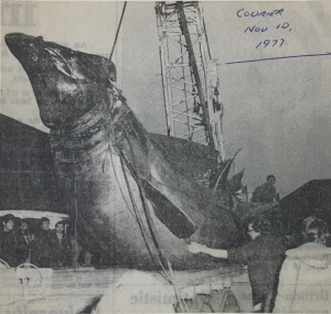 Fig. 2. Basking shark catch at Arbroath, November 1977 (Monster in his pots, 1977. Courtesy of Christine Baird for National Museums Scotland. Retrieved from https://twitter.com/NMSlibraries/status/1169567377761214464). Compared to Fig. 1 there's no visual feature to determine if it is the same individual washed up later at East Haven.